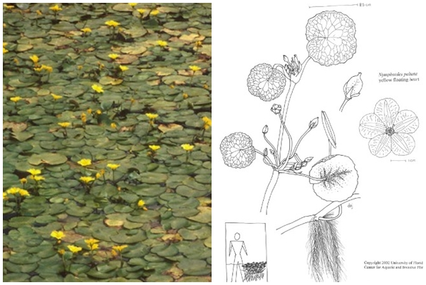 Yellow Floating Heart Invasive Aquatic Plants Maine Department Of