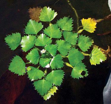 Invasive Aquatic Plants, Maine Department of Environmental ...