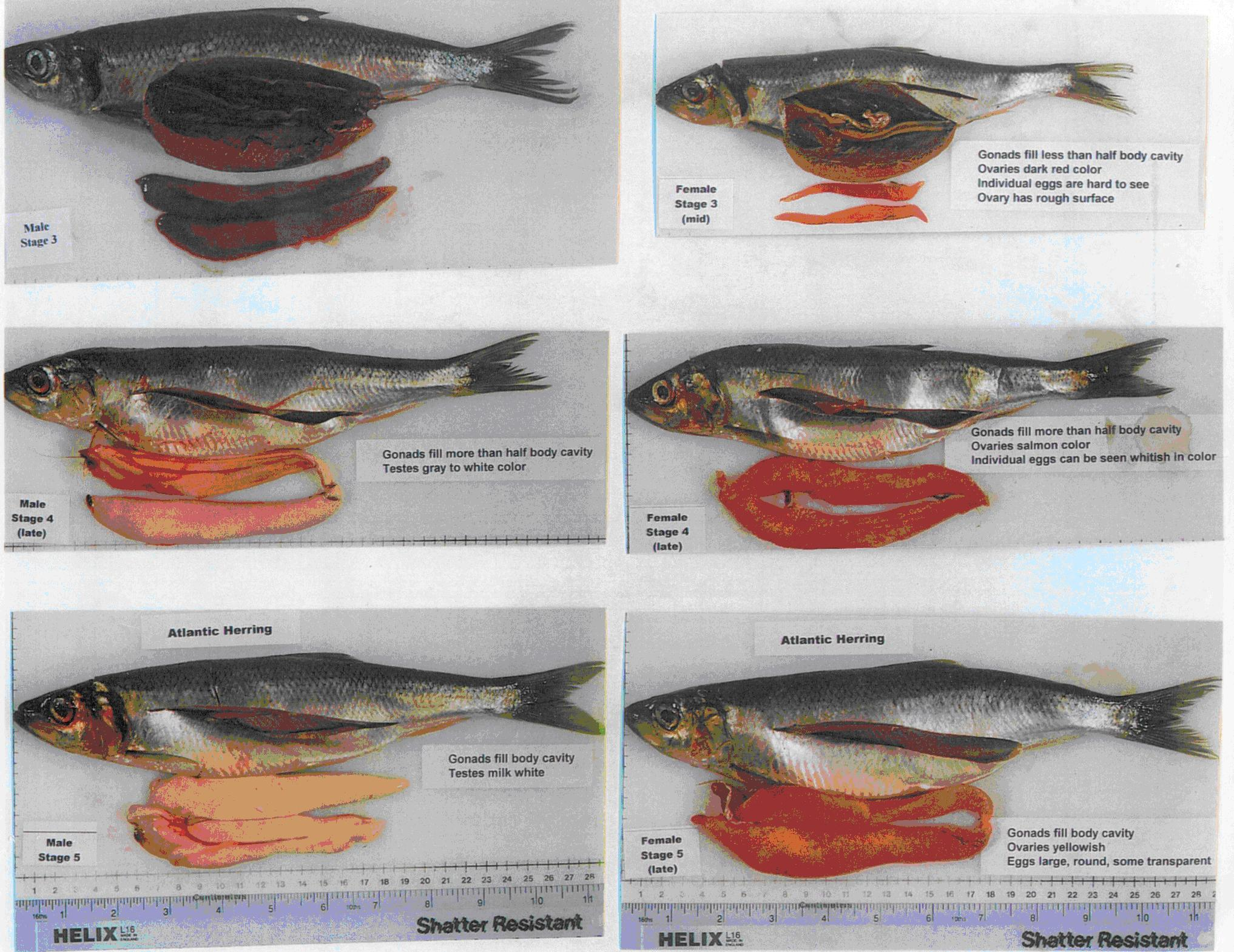 herring gonad stages