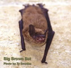 Bats: Living with Wildlife: Wildlife-Human Issues: Wildlife