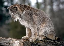 Bobcats Living With Wildlife Wildlife Human Issues