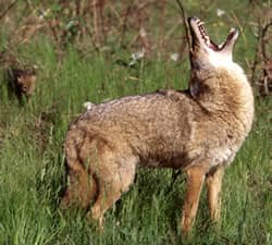 Coyotes: How to Avoid or Resolve a Wildlife Conflict: Living with Wildlife: Wildlife: Fish & Wildlife: Maine Dept of Inland Fisheries and Wildlife