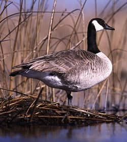 022a96287d96 Canada Geese  Living with Wildlife  Wildlife-Human Issues  Wildlife ...
