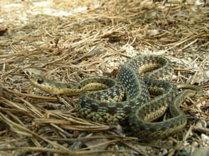 Snakes: Living with Wildlife: Wildlife-Human Issues