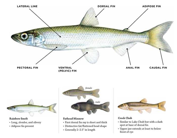 Baitfish Information: Laws & Rules: Fishing: Fishing