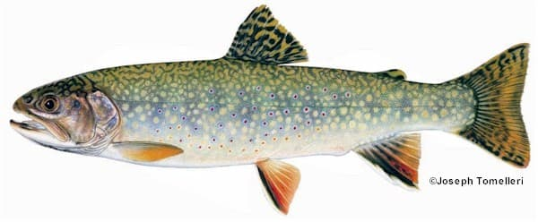 Brook trout species information fisheries fish for Maine fish wildlife