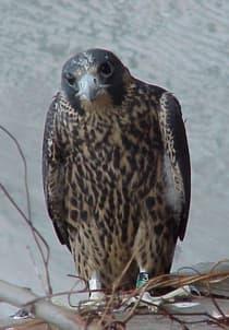 Falcons raptors birds species information wildlife for Maine fish wildlife