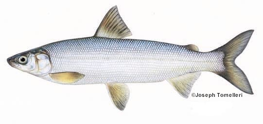 Lake whitefish species information fisheries fish for Maine freshwater fish