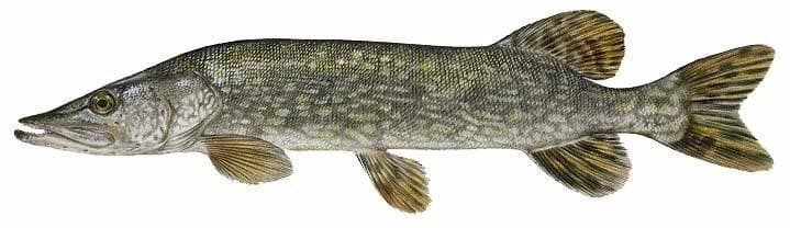 Northern pike species information fisheries fish for Maine fish wildlife