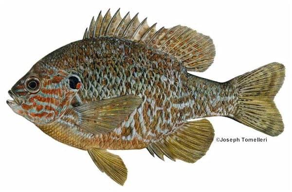 Pumpkinseed sunfish species information fisheries fish for Maine fish wildlife