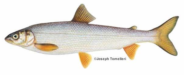 Round whitefish species information fisheries fish for Maine fish wildlife
