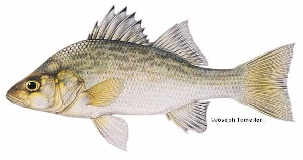 White perch species information fisheries fish for Maine fish wildlife
