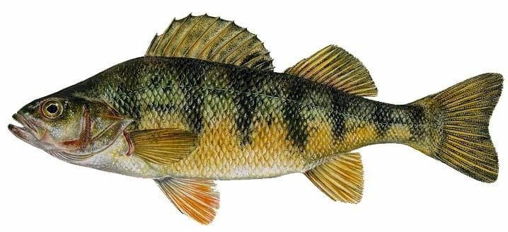 Yellow perch species information fisheries fish for Perch fish facts
