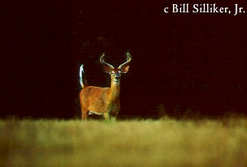 photo of a buck whitetail deer in a field