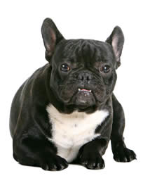 french bulldog maine state of maine dog licensing online purchasing renewal 4050