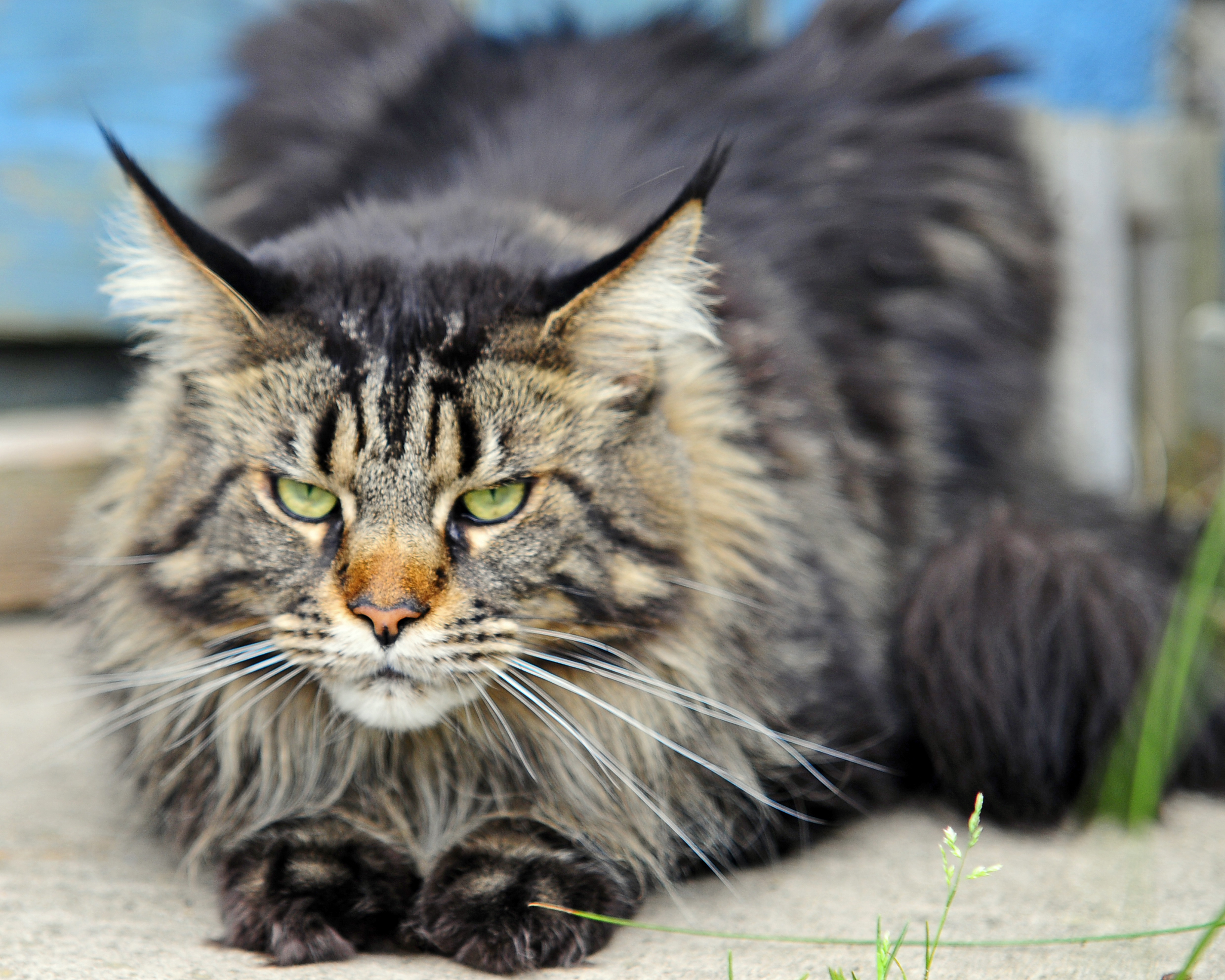 State Cat Maine Coon Cat Maine Secretary Of State Kids Page