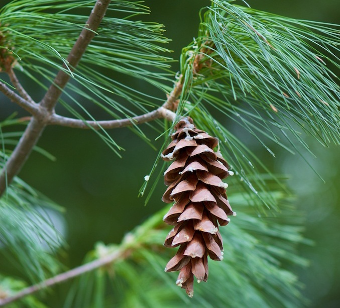 pine cone and tassel image