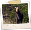 Moose on Route 16