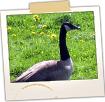 Goose in Field