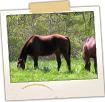 Grazing Horses - Oak Grove Rd
