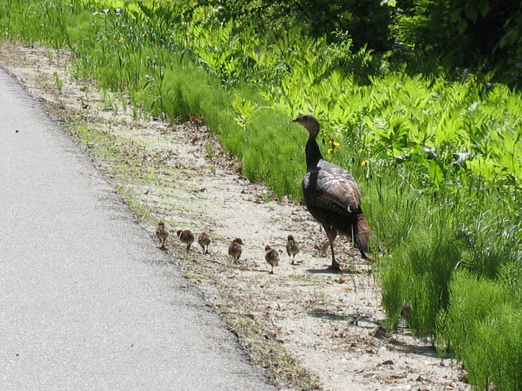 Turkey Family - Kerns Hill Rd