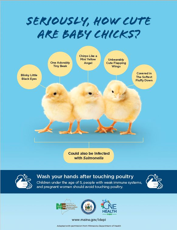 Seriously, How Cute Are Baby Chicks - Standard