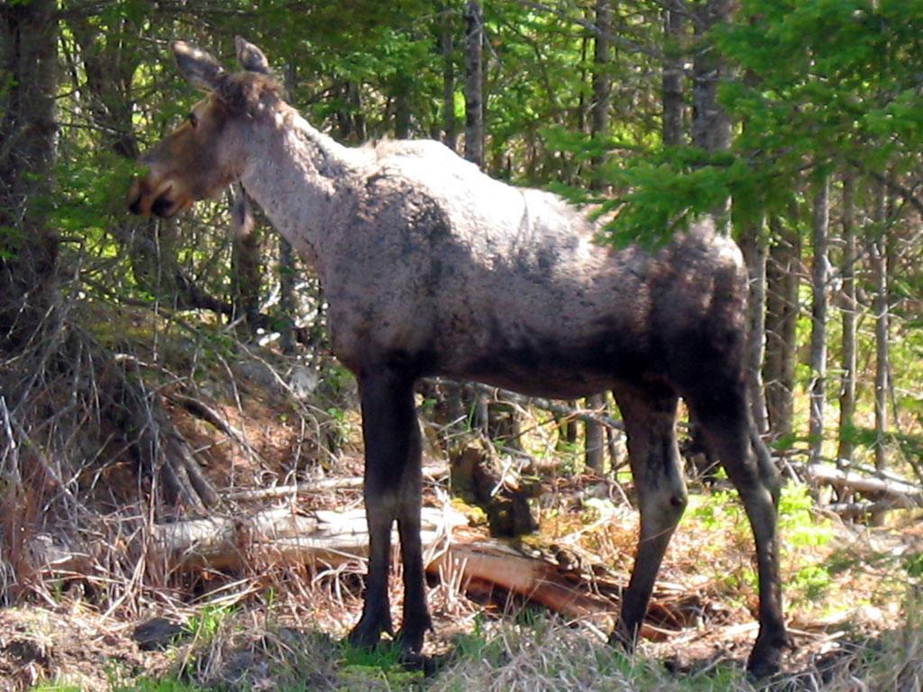 Moose on ME 16