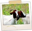 Goat Farm - Back Troy Road