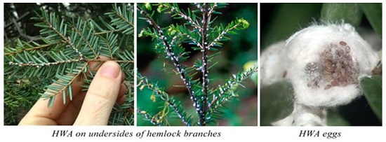 HWA on the undersides of branches and HWA eggs