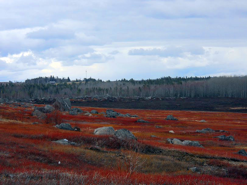 Blueberry Barrens