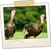 Wild Turkeys off of Boom Rd in Saco