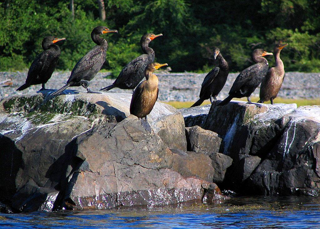 Sunning Cormorants - York Harbor