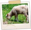 Grazing Lamb - Rte 128 Sheep Farm