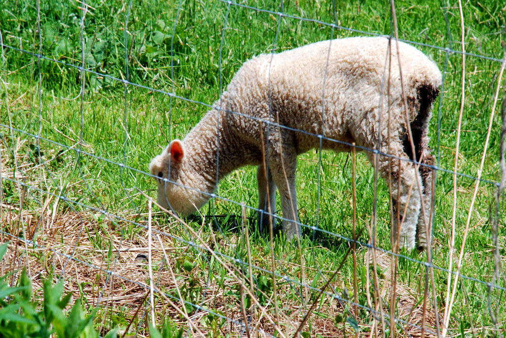Grazing Lamb - Rte 128 Sheep Farm