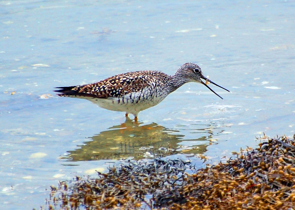 Greater Yellowlegs - Wolfneck State Park